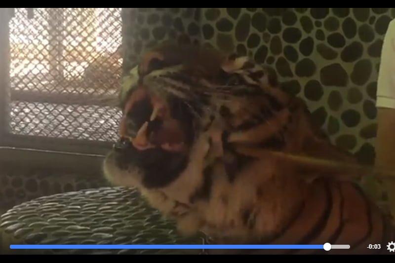 観光客の自撮りのため、犠牲になる動物園の虎たち