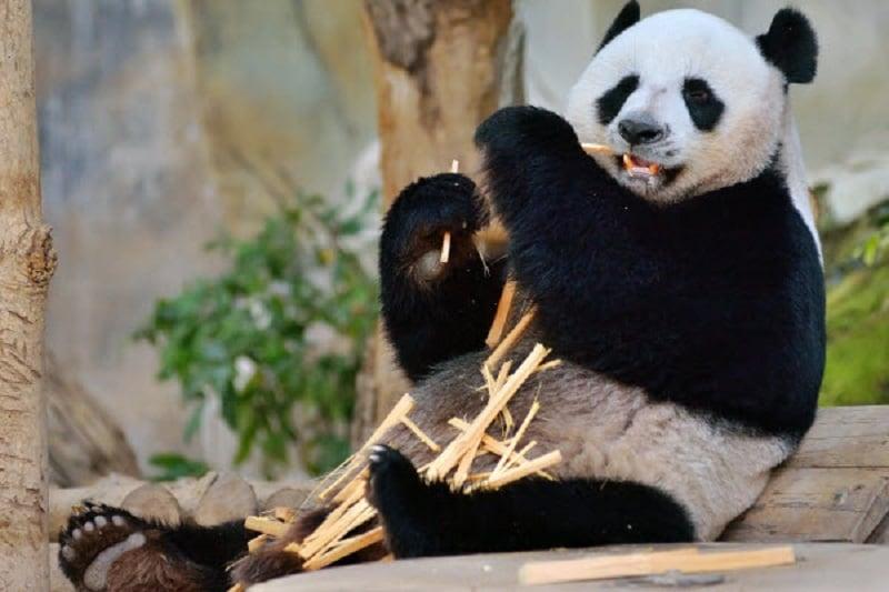 デートスポットINタイ:パンダに会えるチェンマイ動物園!