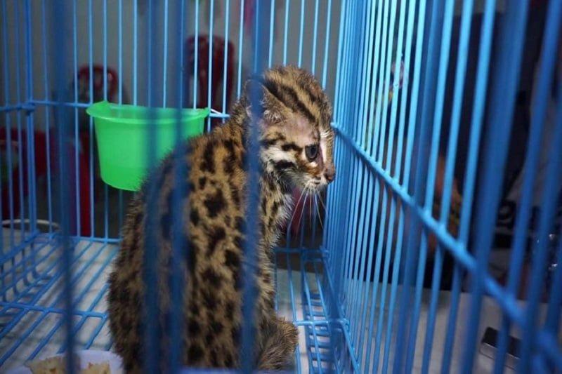 可愛すぎる絶滅危惧種の赤ちゃん!スナドリネコが南部で保護される