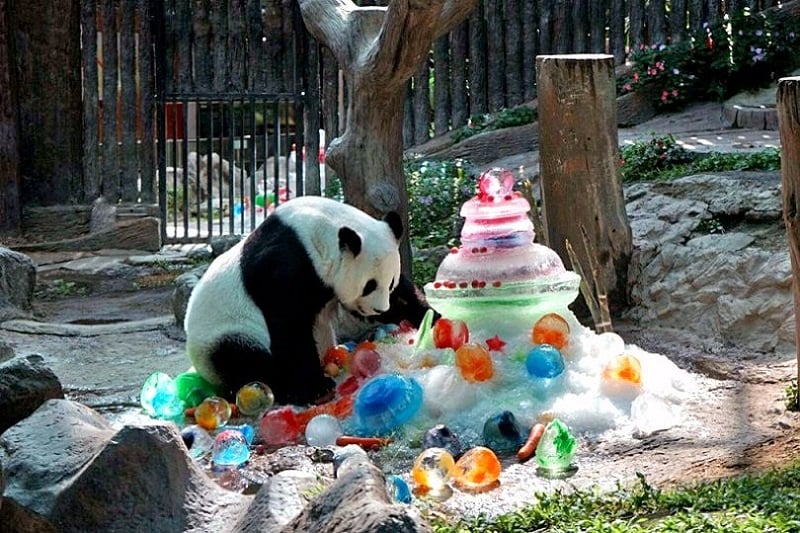 タイ北部チェンマイ市の動物園で、パンダの誕生会が開かれる