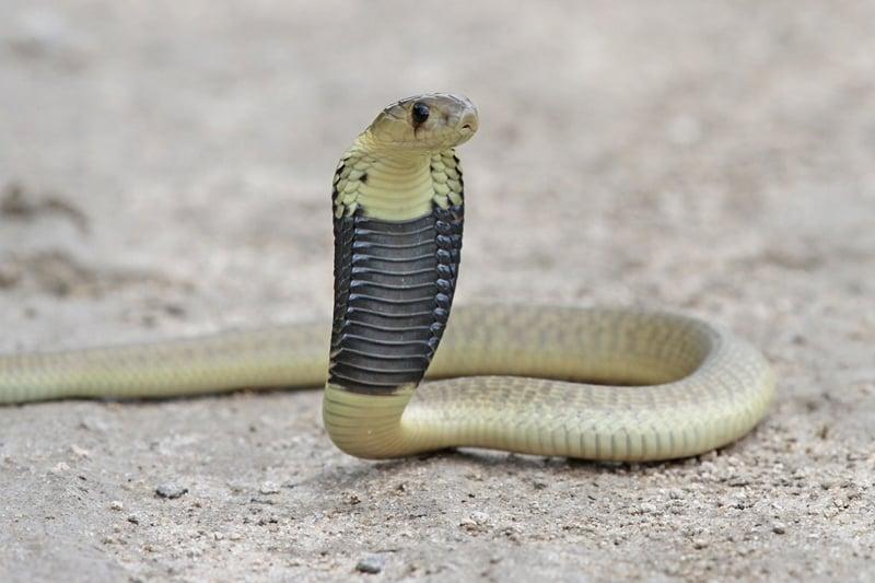 大蛇に自分の大切な***を噛まれた男性!(タイ・バンコク発)