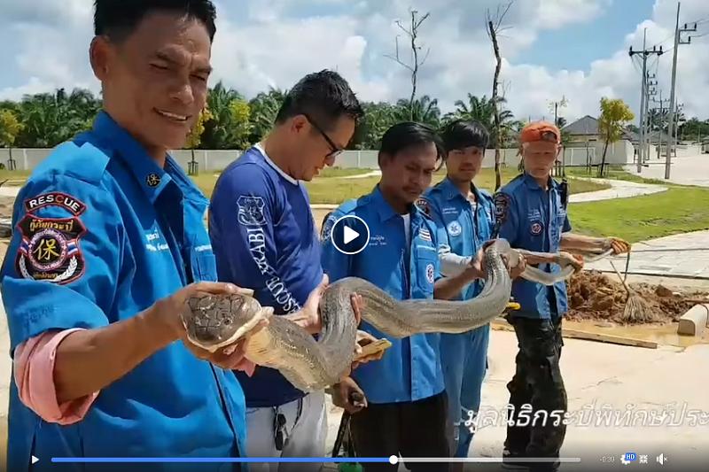 タイ南部クラビ県で全長4メートルのキングコブラを捕獲!