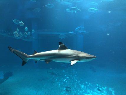 タイ南部で人食いザメ出現、捕獲賞金千バーツ也!