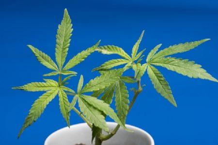 タイで一般の人々の大麻栽培合法に(許可を得た者のみ)